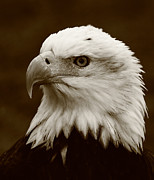 Bald Eagle Framed Prints - Regal  Eagle Framed Print by Bruce J Robinson