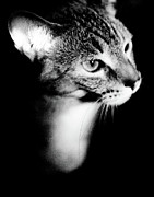 Cat Pictures Posters - Regal Feline Poster by Scott Sawyer