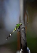 Blue Darner Dragonfly Posters - Regal Shadows Poster by DigiArt Diaries by Vicky Browning