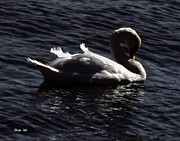Dale Ford Prints - Regal Swan Print by Dale   Ford