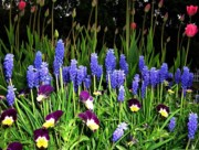 Grape Hyacinths Photos - Regeneration by Will Borden