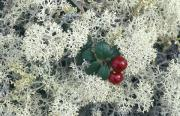 Reindeer Lichen Posters - Reindeer Lichen And Low-bush Cranberry Poster by Rich Reid