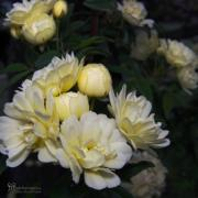 Tree Roses Photos - Rejoicing Sun and Spring by Karen Musick