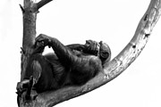 Chimpanzee Photo Posters - Relax Poster by Gert Lavsen