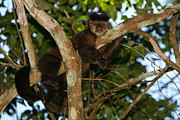 Relaxed Photo Framed Prints - Relaxed - Brown Capuchin Framed Print by Bruce J Robinson