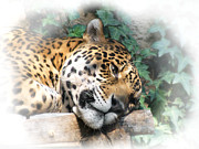 Panthers Prints - Relaxing 2 Print by Ernie Echols