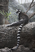 Lemur Photos - Relaxing at Noon  by Yosi Cupano