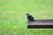Bluejay Metal Prints - Relaxing Metal Print by Charlotte Sevigny