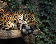 Jags Framed Prints - Relaxing Framed Print by Ernie Echols