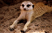 Meerkat Photos - Relaxing Meerkat by Tam Graff