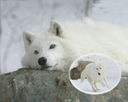 Arctic Wolf Photos - Remember When by Gerry Sibell