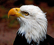Stately Mixed Media Posters - Reminiscent Bald Eagle Poster by Donna Proctor