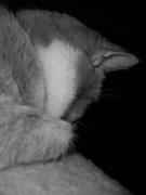 Cat Paw Posters - Repose in Gray  Poster by Diana Lovett
