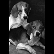 Beagle Prints - Rescued 1 Print by Laura Melis