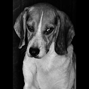 Beagle Photos - Rescued 2 by Laura Melis