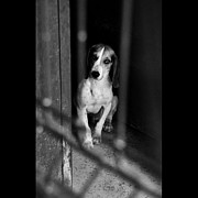 Beagle Photos - Rescued 4 by Laura Melis