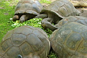 Tortoise Prints - Reservations For Five Print by Rick  Monyahan