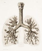 Vol Posters - Respiratory Anatomy, 19th Century Artwork Poster by