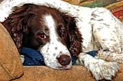 Brown White Dog Framed Prints - Rest Time For Bella Framed Print by James Steele