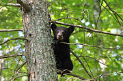 Black Bear Photos - Rest Time by Todd Hostetter