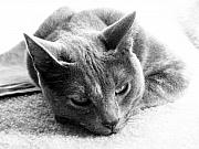 Cats Photo Metal Prints - Resting Metal Print by Amanda Barcon
