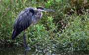 Photos Of Birds Posters - Resting Blue Heron Poster by Skip Willits