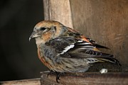 Crossbill Art - Resting Brown by Bonnie Brann
