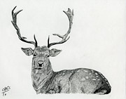 Doe Drawings Posters - Resting Buck Poster by Chris Trudeau