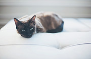 Camera Posters - Resting Cat Poster by Cindy Loughridge