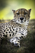 Chad Davis - Resting Cheetah