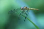 Dragonfly Eyes Prints - Resting Dragonfly Print by Zoe Ferrie
