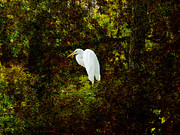 Cypress Trees Digital Art Posters - Resting Egret Poster by J Larry Walker