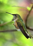 Sabrina L Ryan Metal Prints - Resting Hummingbird Metal Print by Sabrina L Ryan