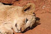Tired On Bed Prints - Resting Lion Cub Print by Benjamin Mitchell