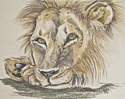 Lion Drawings Originals - Resting by Mary Rimmell
