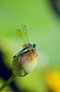 Blue Dragon Fly Posters - Resting on a Lily Poster by Lisa  Spencer