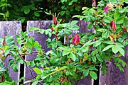 Board Fence Prints - Resting Rosebuds Enhanced Print by Barbara Griffin