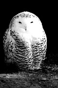 Beautiful Eyes Posters - Resting Snowy Owl Poster by Darcy Michaelchuk