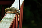 Bryant Photo Prints - Resting Squirrel Print by  Onyonet  Photo Studios