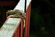 Resting Squirrel Print by  Onyonet  Photo Studios