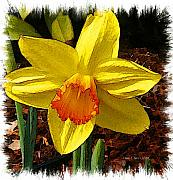 Daffodil Painting Framed Prints - Resurrection Framed Print by Diane E Berry
