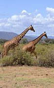 Kenya Wildlife Framed Prints - Reticulated Giraffe  Framed Print by Amir Paz