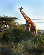 Kenya Photos - Reticulated Giraffe Kenya by Joseph G Holland