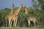Trio Posters - Reticulated Giraffe Trio Poster by Kevin Schafer