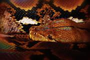 Scott Hovind - Reticulated Python