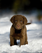Chesapeake Posters - Retriever Puppy In Snow Poster by Copyright © Kerrie Tatarka