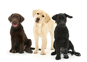Variety Of Colors Posters - Retriever Pups Of Every Color Poster by Mark Taylor