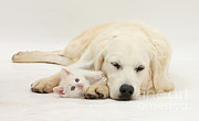 Felis Domesticus Posters - Retriever With Friendly Kittens Poster by Mark Taylor