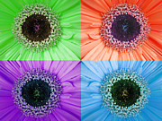 Multicolored Daisy Prints - Retro Gerbera Daisy Print by Trisha Allard