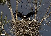 Eagle Photos - Returning Home to the Nest by Mike  Dawson